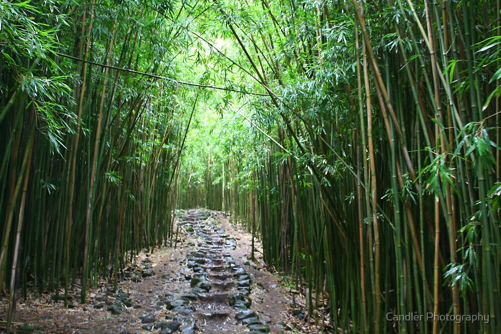 Bamboo Forest by Candler Photography