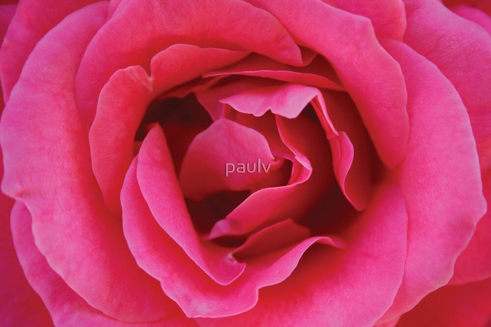 pink rose by paulv
