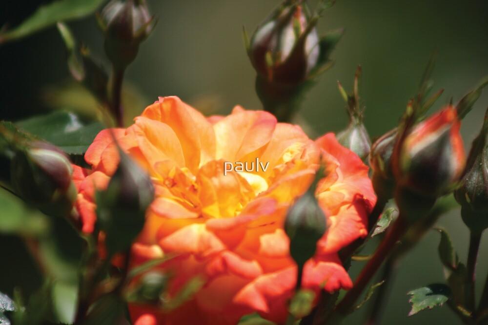 orange flower by paulv