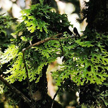 Lichen in the Deep Forest, Waldheim, Cradle Mountain, Tasmania, Australia. by kaysharp