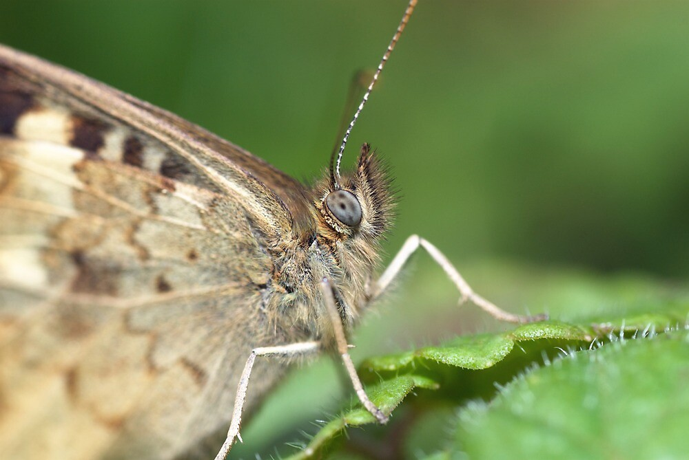 Speckled Wood Butterfly by Jonathan Hughes
