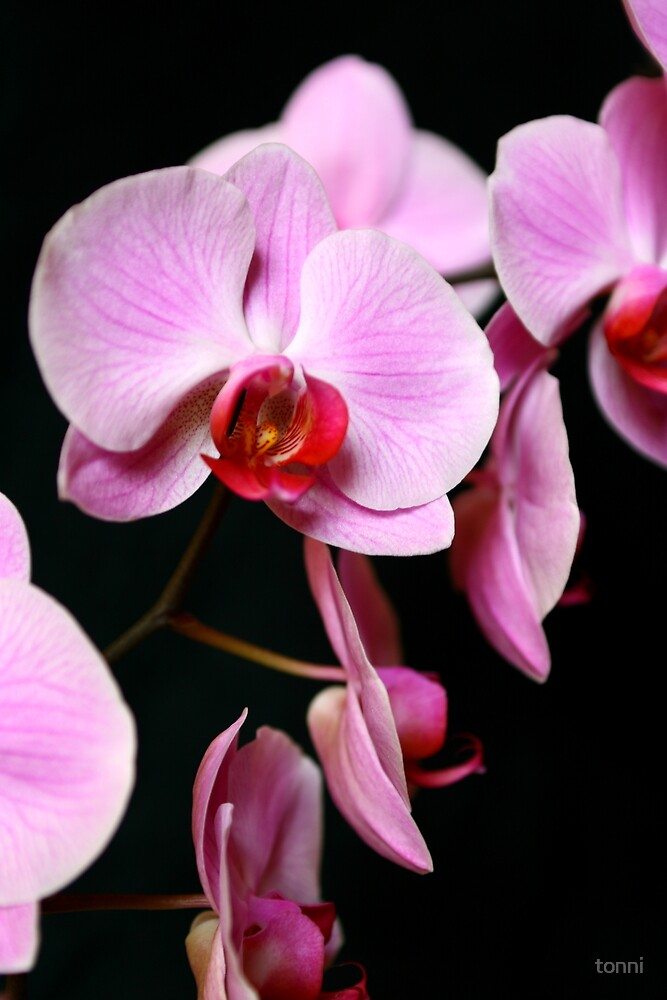 Orchid by tonni