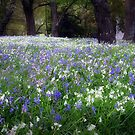 Bluebell Wood by Marcia Luly