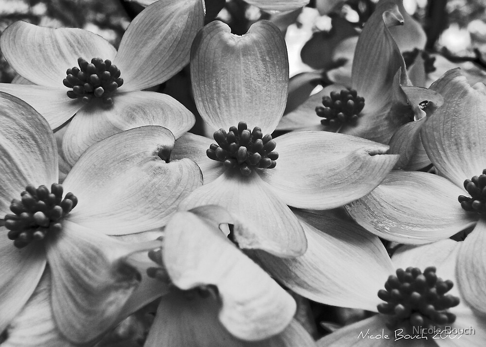 Dogwoods, Bedford by Nicole Bouch