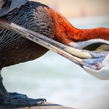 Pelican Itch by Cynthia48