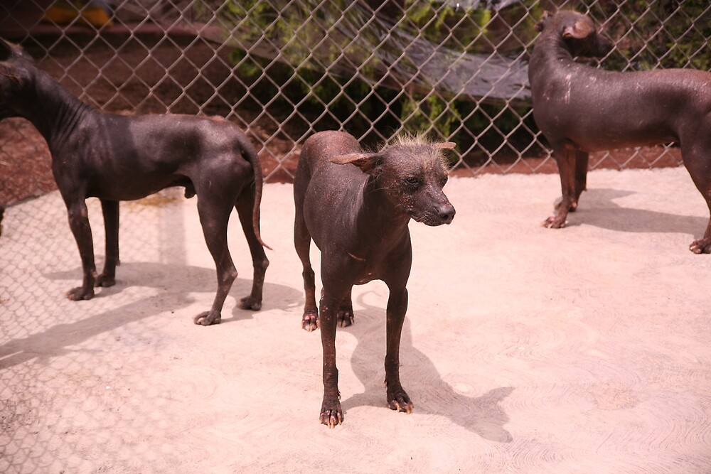 Mexican Hairless by katw0man
