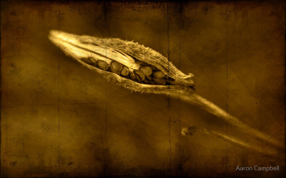 Seed Pod (Milkweed) by Aaron Campbell