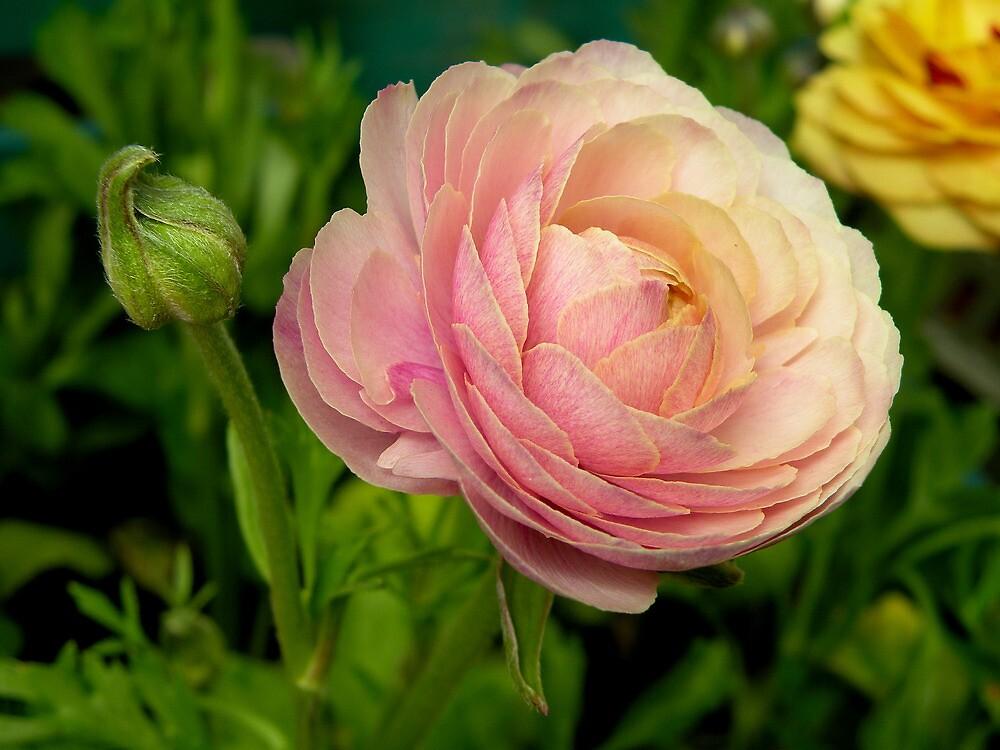 Flor rosa..... by cieloverde