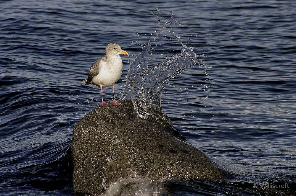 A day in the life of a Gull by Al Williscroft