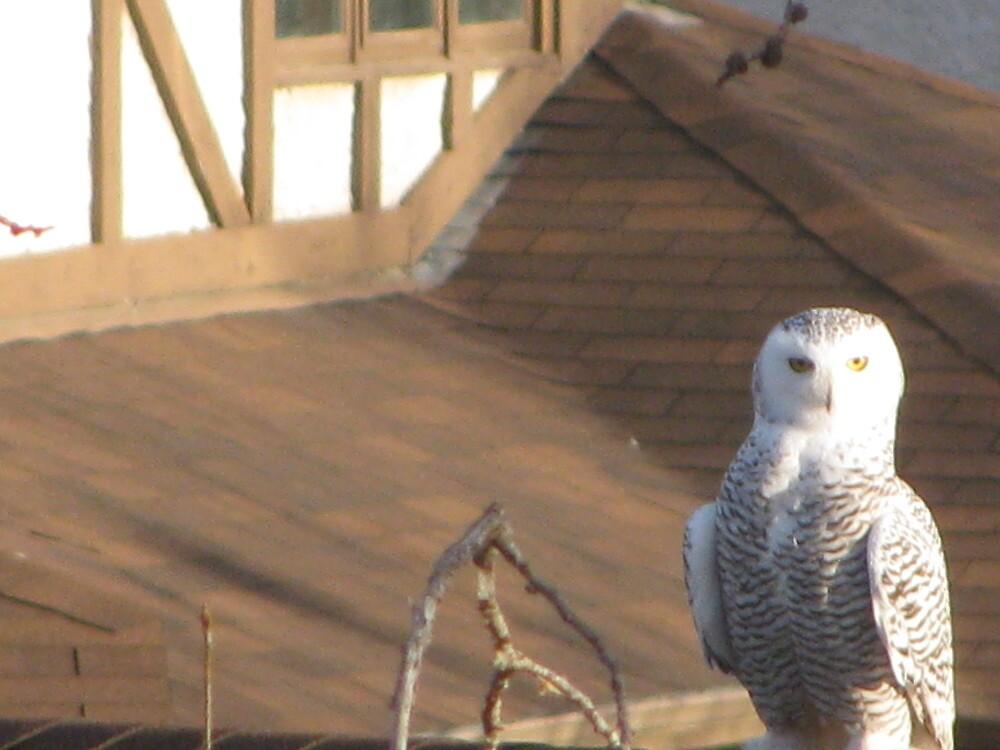 owl in winnipeg by joycenagy