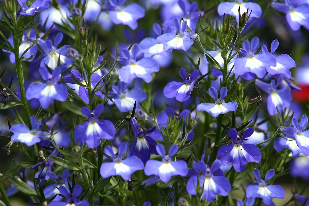 Field of Blue by djnoel