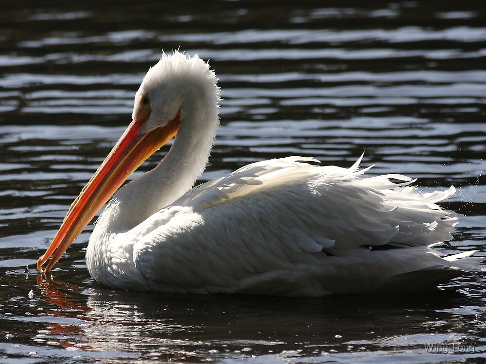 White Pelican Ripple Waters by Wing Tong