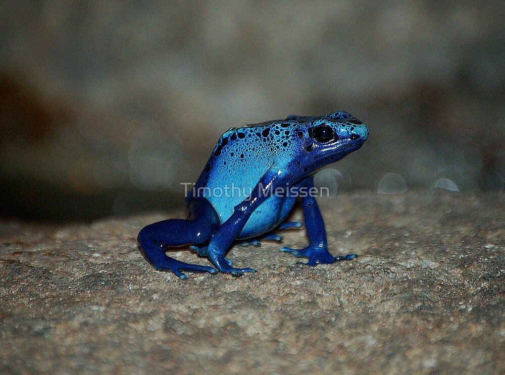 Poison Dart Frog by Timothy Meissen