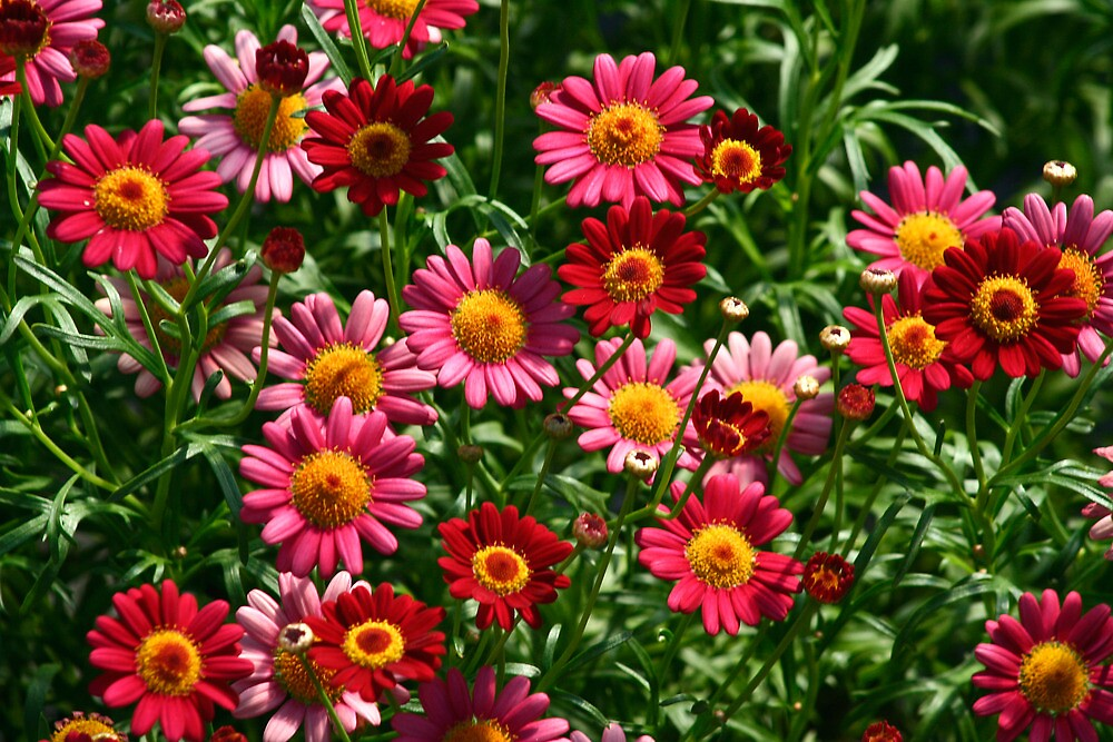 Red and Pink Daisies by djnoel