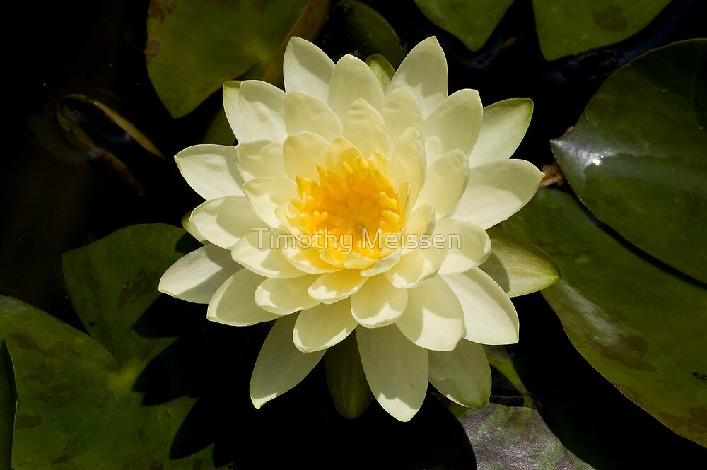 Water Lilly by Timothy Meissen