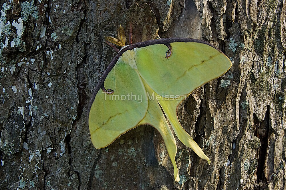 Luna Moth by Timothy Meissen