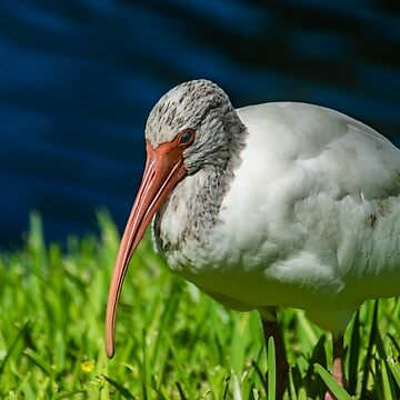 American white ibis 2 + 2 by KensLensDesigns