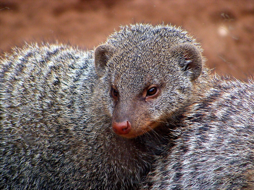 Mongoose by Dave & Trena Puckett