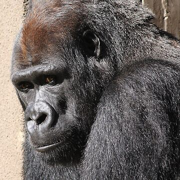 Silverback Gorilla by wingtong168