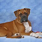 The Boxer Dog - a big softy by Christine Till  @    CT-Graphics
