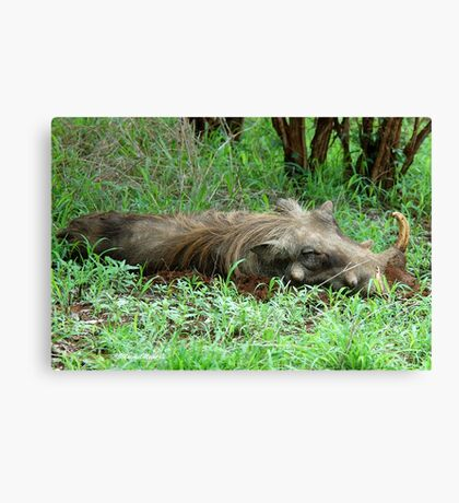 SIESTA TIME - THE WARTHOG – Phacochoerus aethiopicus Canvas Print