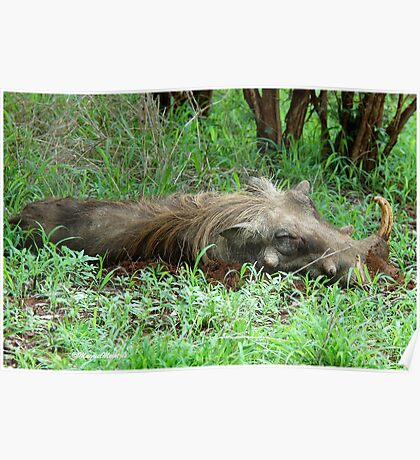 SIESTA TIME - THE WARTHOG – Phacochoerus aethiopicus Poster