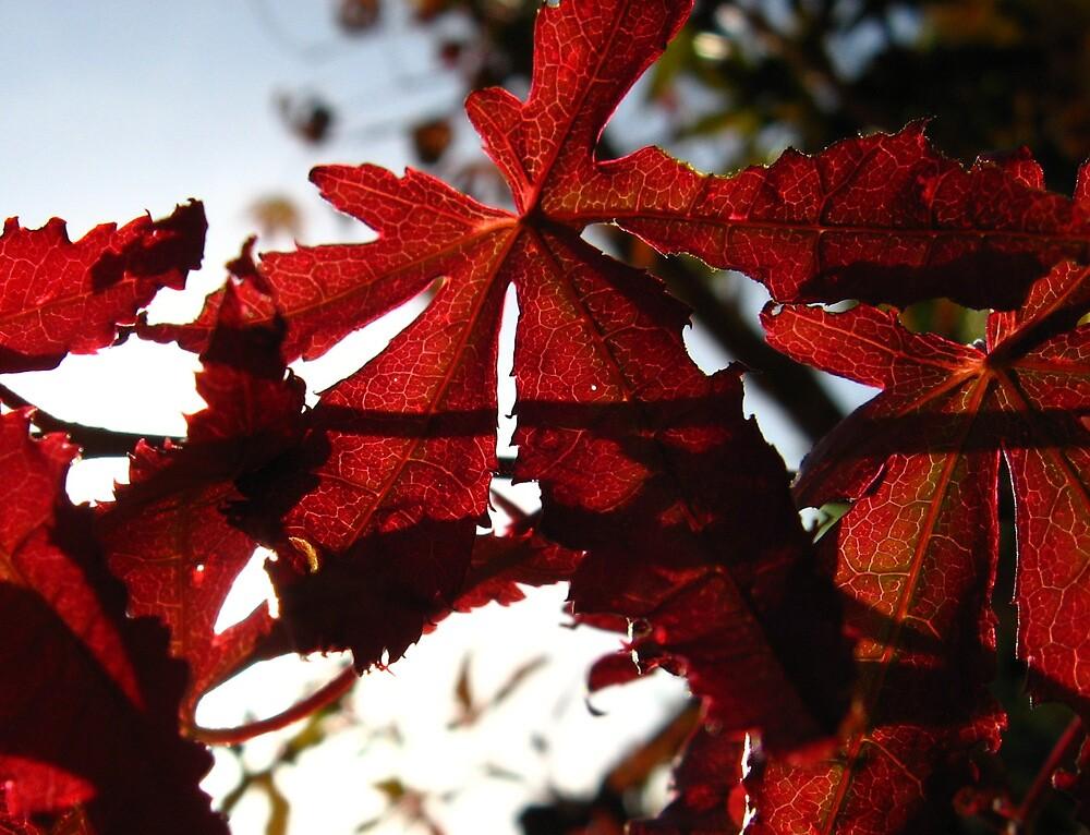 Acer leaf by ljm87