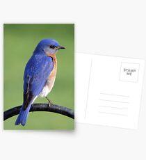 Eastern Bluebird Postcards