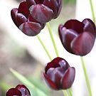 Black Tulips by Pinkanna1980