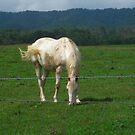White Horse by dutchessphoto85