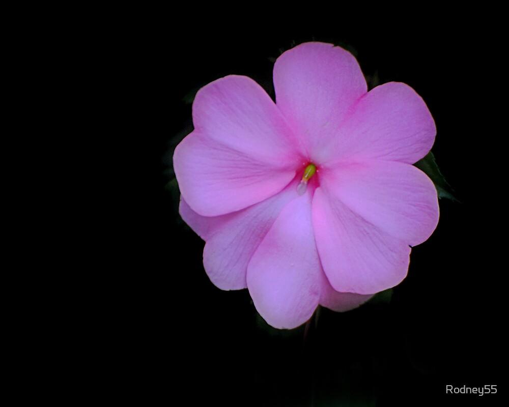Pink Beauty by Rodney55