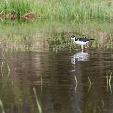 Black-necked stilt 2018-1 by Thomasyoung