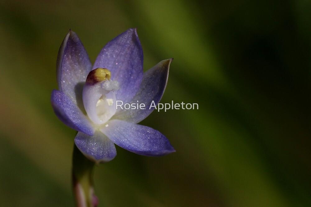 Slender Sun Orchid (Thelymitra pauciflora) by Rosie Appleton