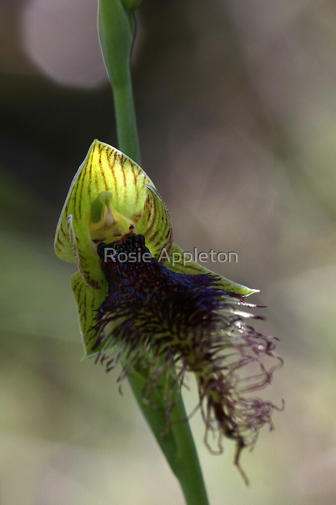 Purple Beard Orchid (Calochilus robertsonii) by Rosie Appleton