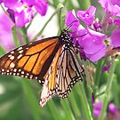 Monarch on flowering Stock........!! by Roy  Massicks