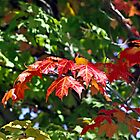 Canadian Autumn Maple  by Heather Friedman