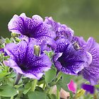 Petunias in full bloom......!! by Roy  Massicks