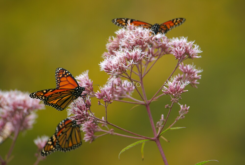 Butterflies on Mountain Flowers by efphoto