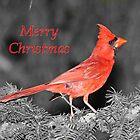 Cardinal Christmas by hummingbirds