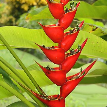 An Exotic Heliconia by Carole-Anne