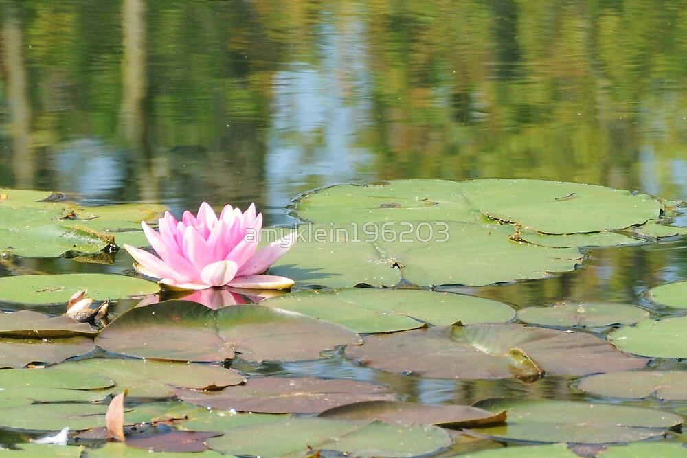 Water Lily by amyklein196203
