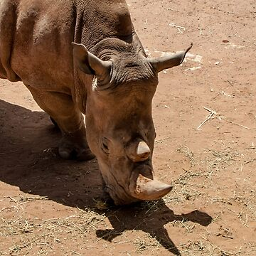 White Rhino - Female by DPalmer