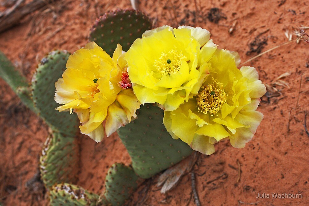 Three Blooms of Prickly Pear by Julia Washburn