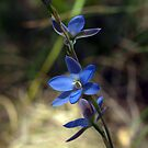 Blue Sun Orchid (Thelymitra media) by Bev Pascoe