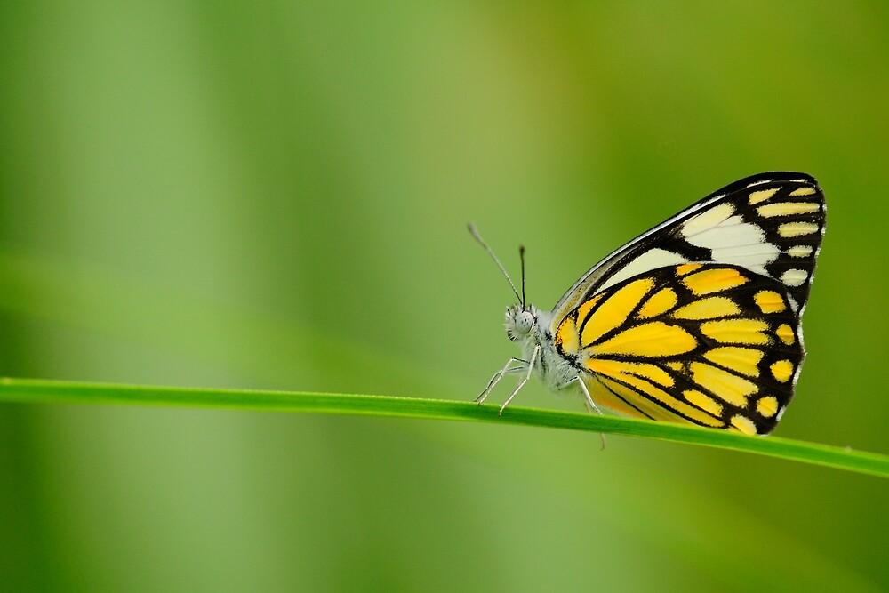 Pioneer Butterfly by pvraghav
