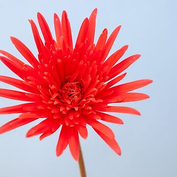 Red Gerbera by DPalmer