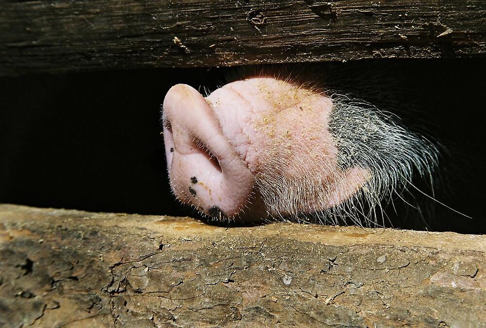 Lao pig in Whiskey village by Sven Klein
