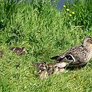 Duck family by Nicole McHardy