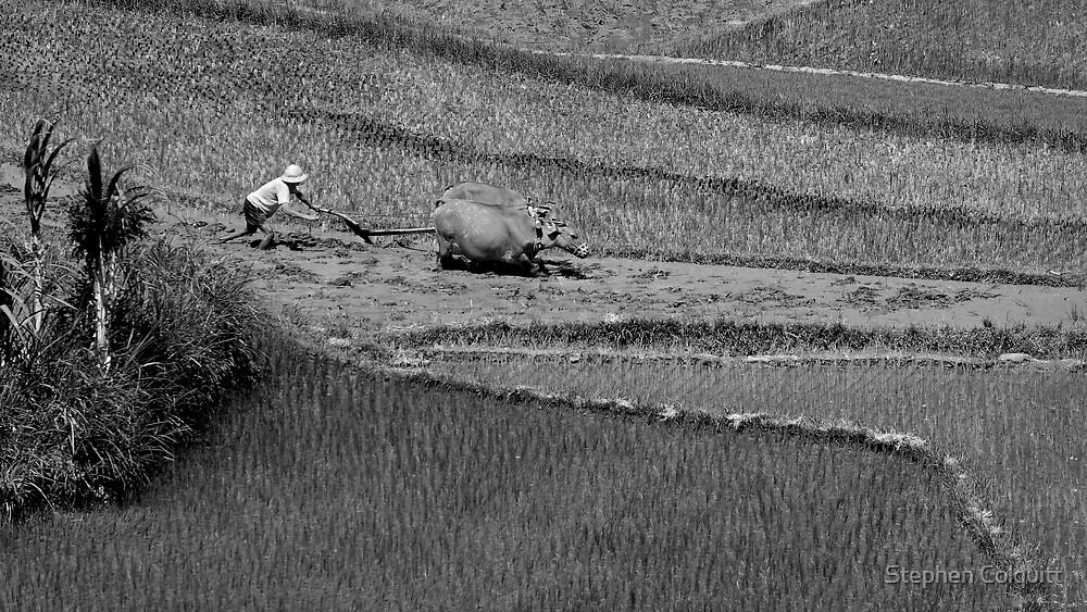 Bali life - rice farming by Stephen Colquitt