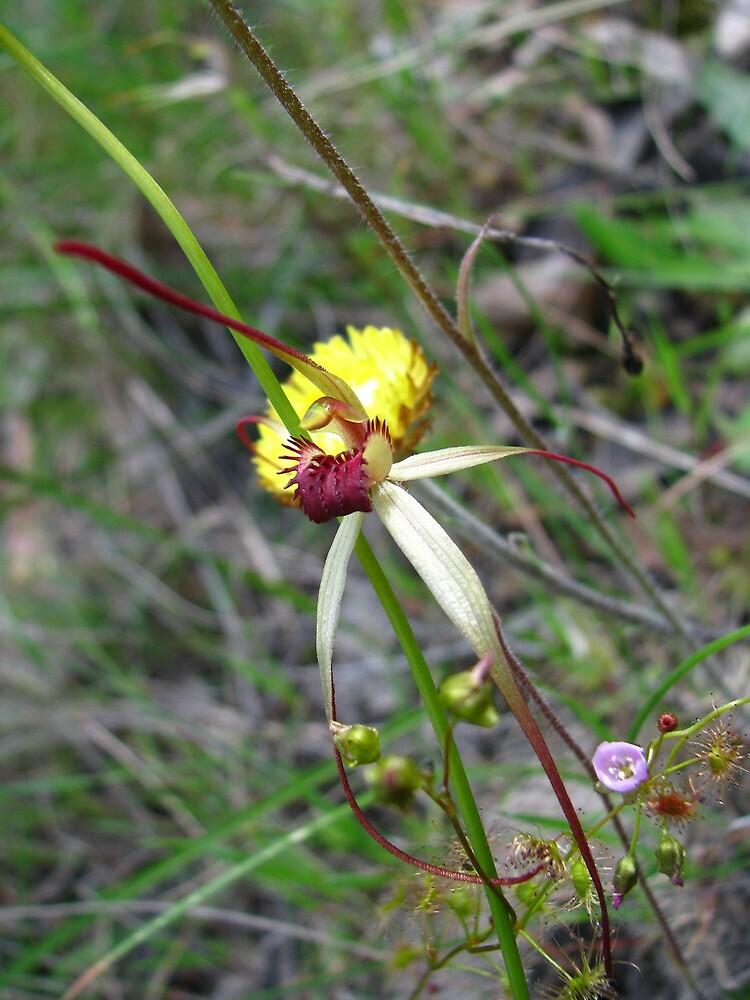 Arachnorchis oenochila by zac2000